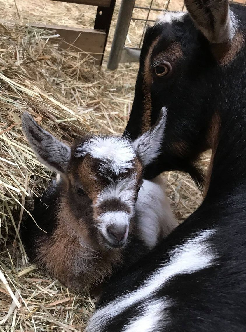Mother goat with her baby
